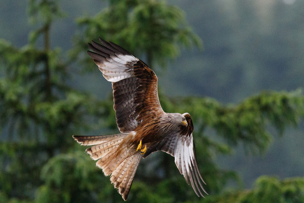 2018 06 19  Red Kite by pixiemac
