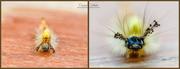 29th Jun 2018 - Vapourer Moth Caterpillar