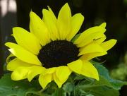 29th Jun 2018 - Sunflower