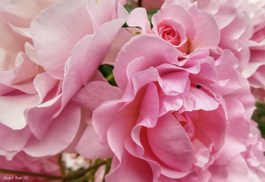 Pink Frillies by craftymeg