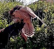 29th Jun 2018 - American falcon