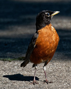 29th Jun 2018 - American robin portrait with shadow