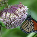 Milkweed Love by cjwhite