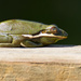 Tree Frog Down on the Railing! by rickster549