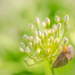 An umbel by haskar