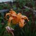 Sunsetting daylilies