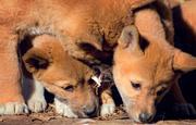 1st Jul 2018 - Dingo Pups