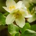 Cirugia Blossom