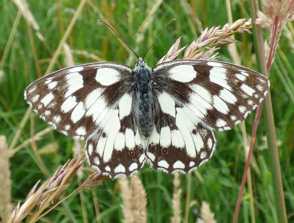 Marbled White by julienne1