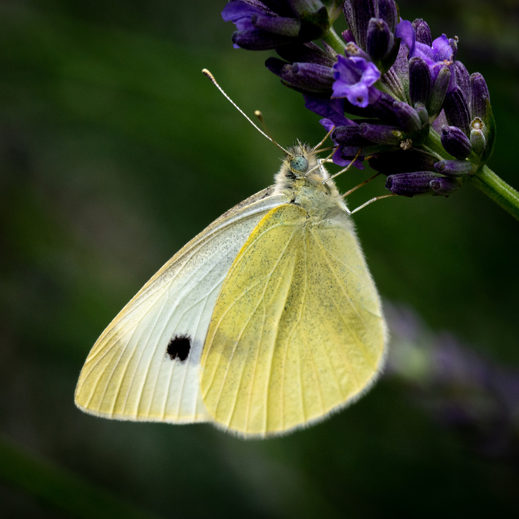 Paimpont 2018: Day 157 - Cabbage White Butterfly... by vignouse