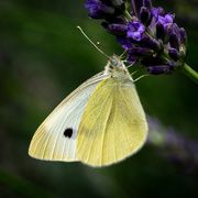 1st Jul 2018 - Paimpont 2018: Day 157 - Cabbage White Butterfly...