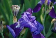 8th Jun 2018 - More Irises