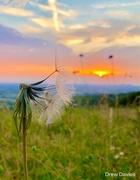 1st Jul 2018 - seedhead sunset.