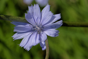 30th Jun 2018 - Chicory