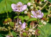 2nd Jul 2018 - Blackberries And Blossom