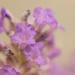 Lavender Dreams by fbailey