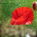 Poppy -- Bloom and Bud by seattlite