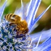Bee on Sea Holly by casablanca
