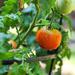 Red Tomato by loweygrace