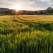 Sunrise on the wheatfields by ellida