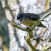Fantail by yorkshirekiwi