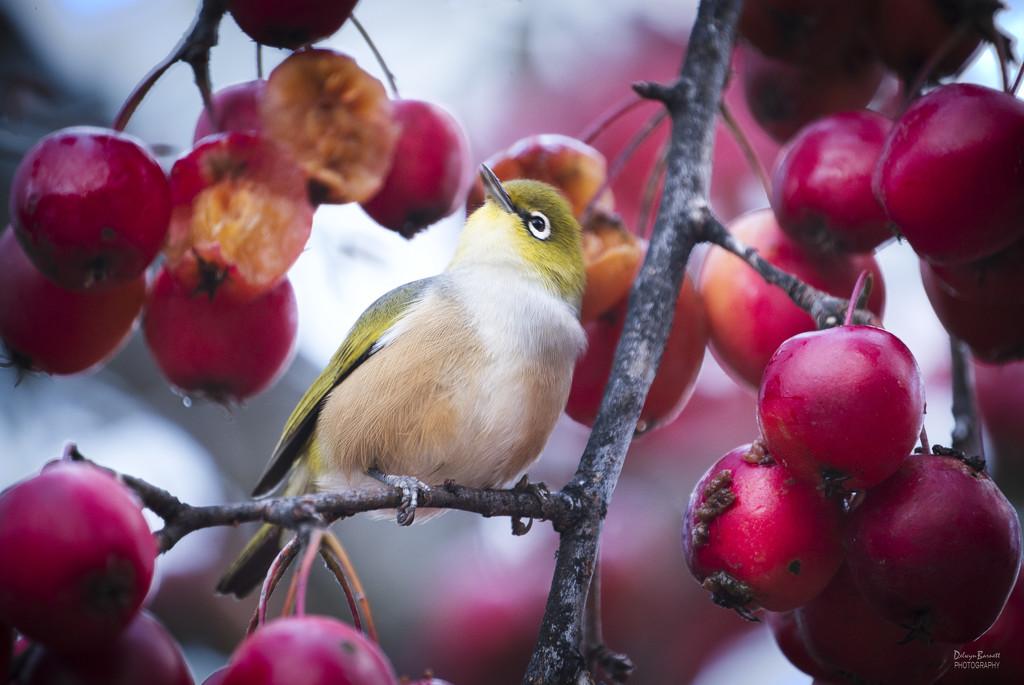 Little White Eye amongst the crab apples by dkbarnett