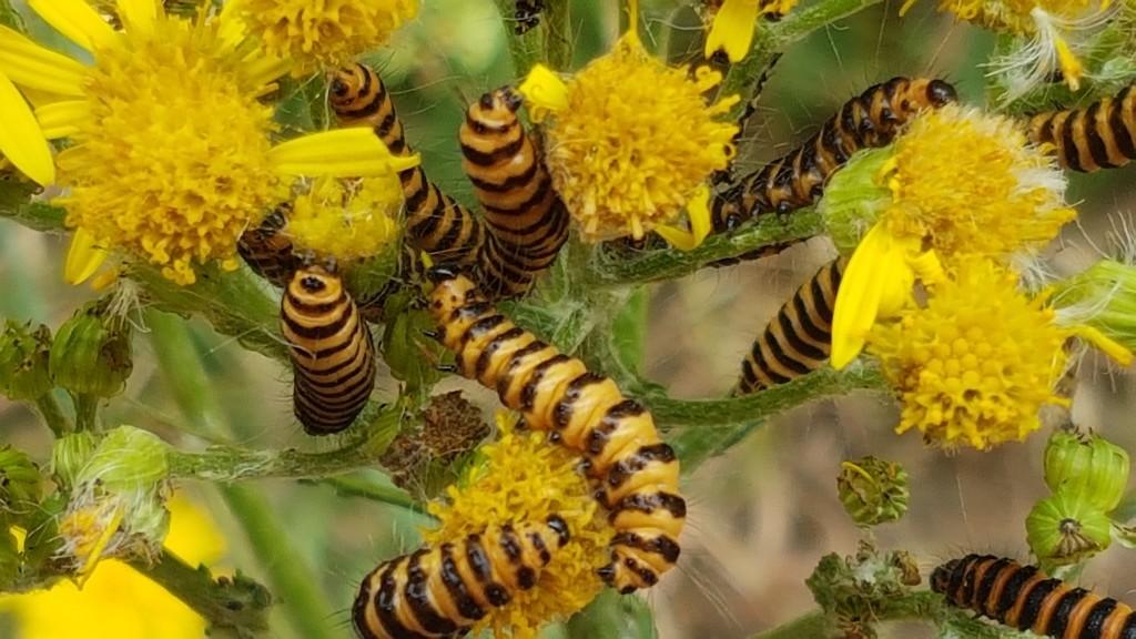 Cinnabar Moth caterpillars by julienne1