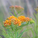 Asclepias Tuberosa by paintdipper