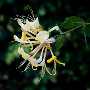 3rd Jul 2018 - Paimpont 2018: Day 159 - Honeysuckle