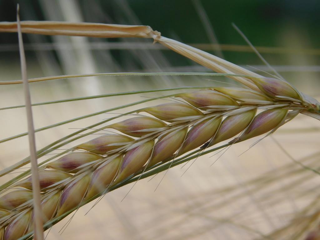 Barley by 365anne