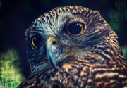 4th Jul 2018 - Powerful Owl