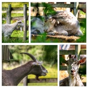 4th Jul 2018 - We had goats, donkeys and pigs in the field next to us on the caravan site. These are taken peeping through the hedge!