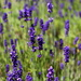 Lavender (Dilly Dilly) by phil_sandford