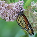 Milkweed Attraction by cjwhite