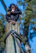 6th Jul 2018 - Baby Chimp