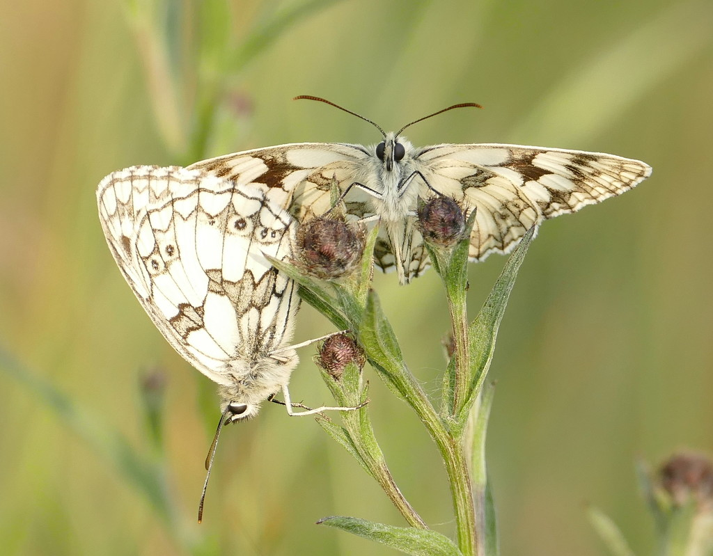 Marbled White    by jesika2
