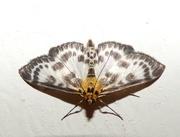 6th Jul 2018 - Small Magpie Moth