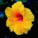 Hibiscus, Magnolia Gardens