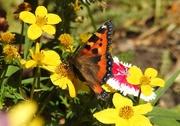 3rd Jul 2018 - Tortoiseshell Butterfly 1
