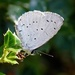 HOLLY BLUE by markp