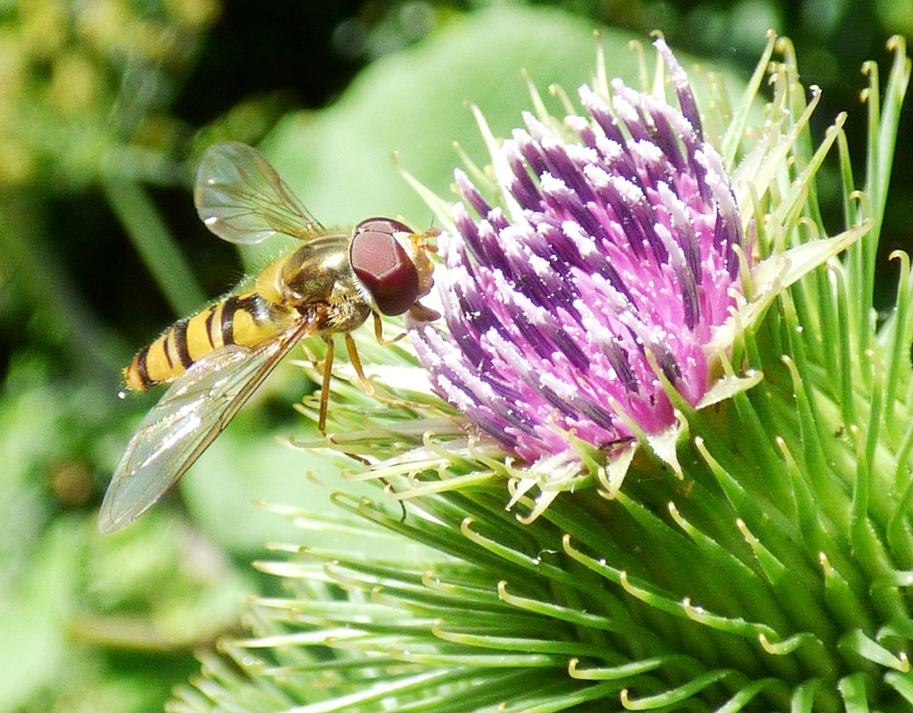 Marmalade hoverfly by julienne1