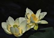 7th Jul 2018 - Lotus flower