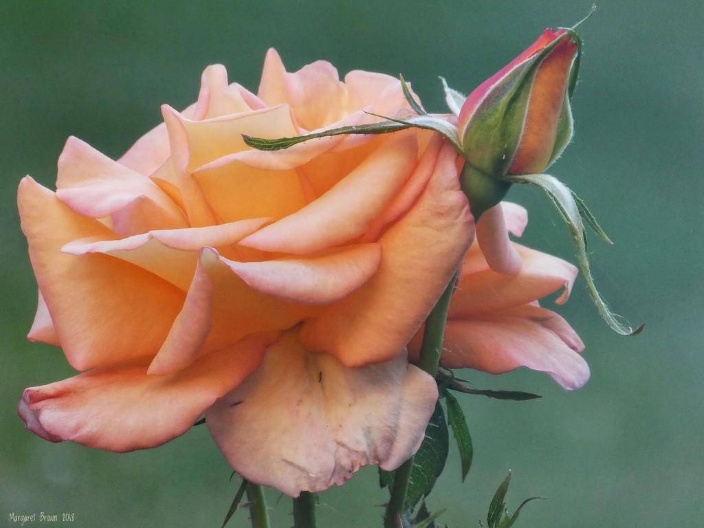 Peach Melba by craftymeg