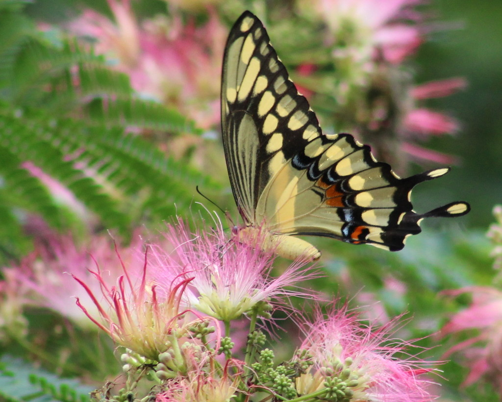 Giant Swallowtail by cjwhite