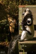 8th Jul 2018 - Black and White Ruffed Lemur