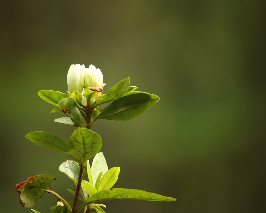 White Flower by nanderson