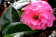 9th Jul 2018 - Camelia in the gardens along the street of Maleny