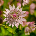 Astrantia major by elisasaeter