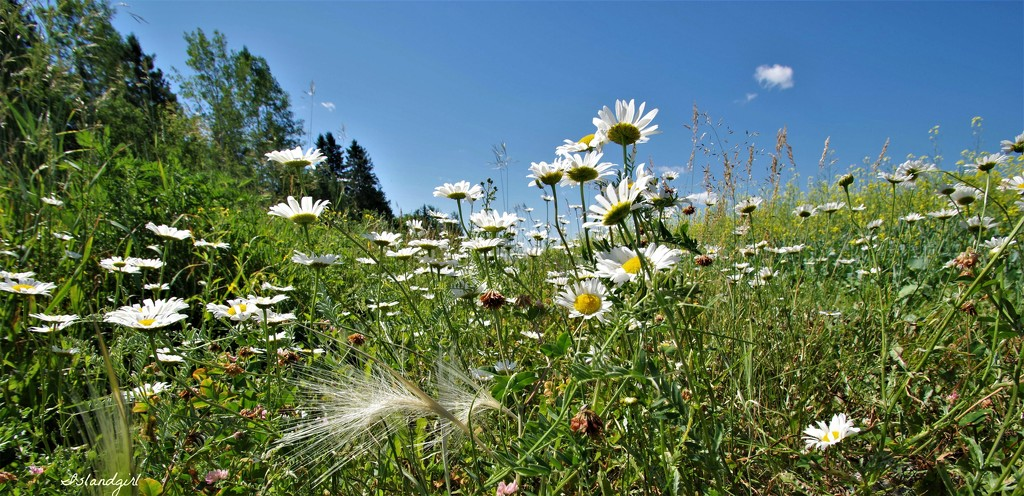 Wild Daisies  by radiogirl