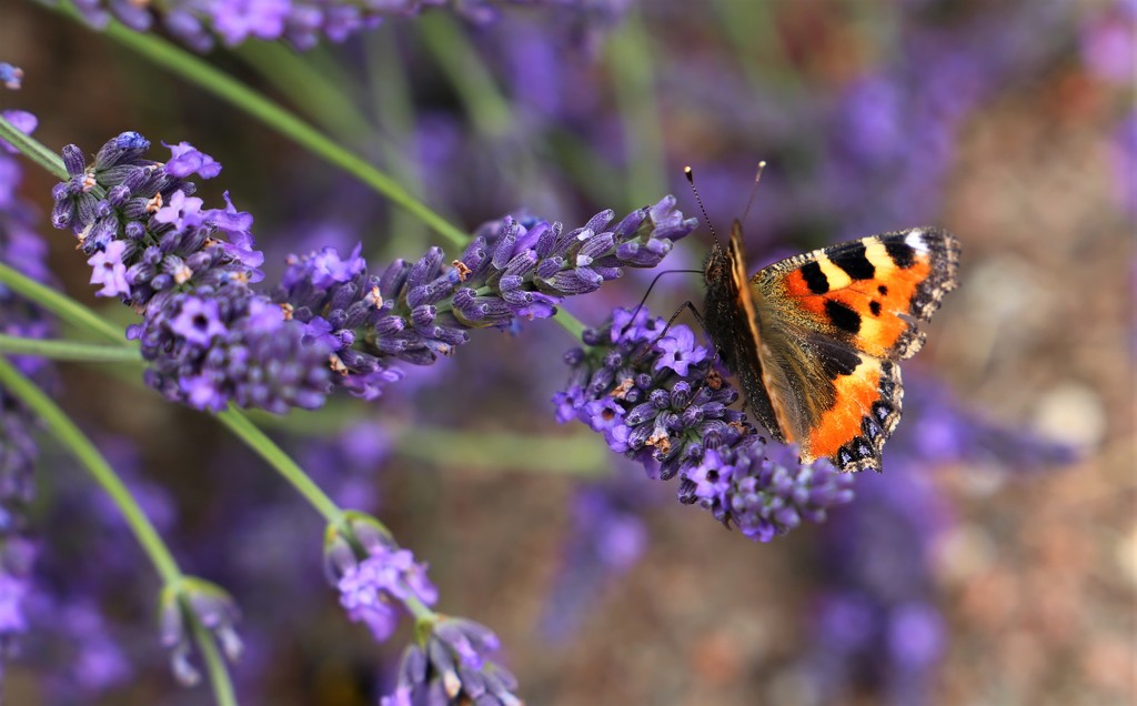 Butterfly & Lavender by phil_sandford
